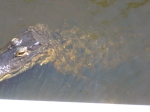 Alligators Can Jump As High As 2/3 Of Their Length