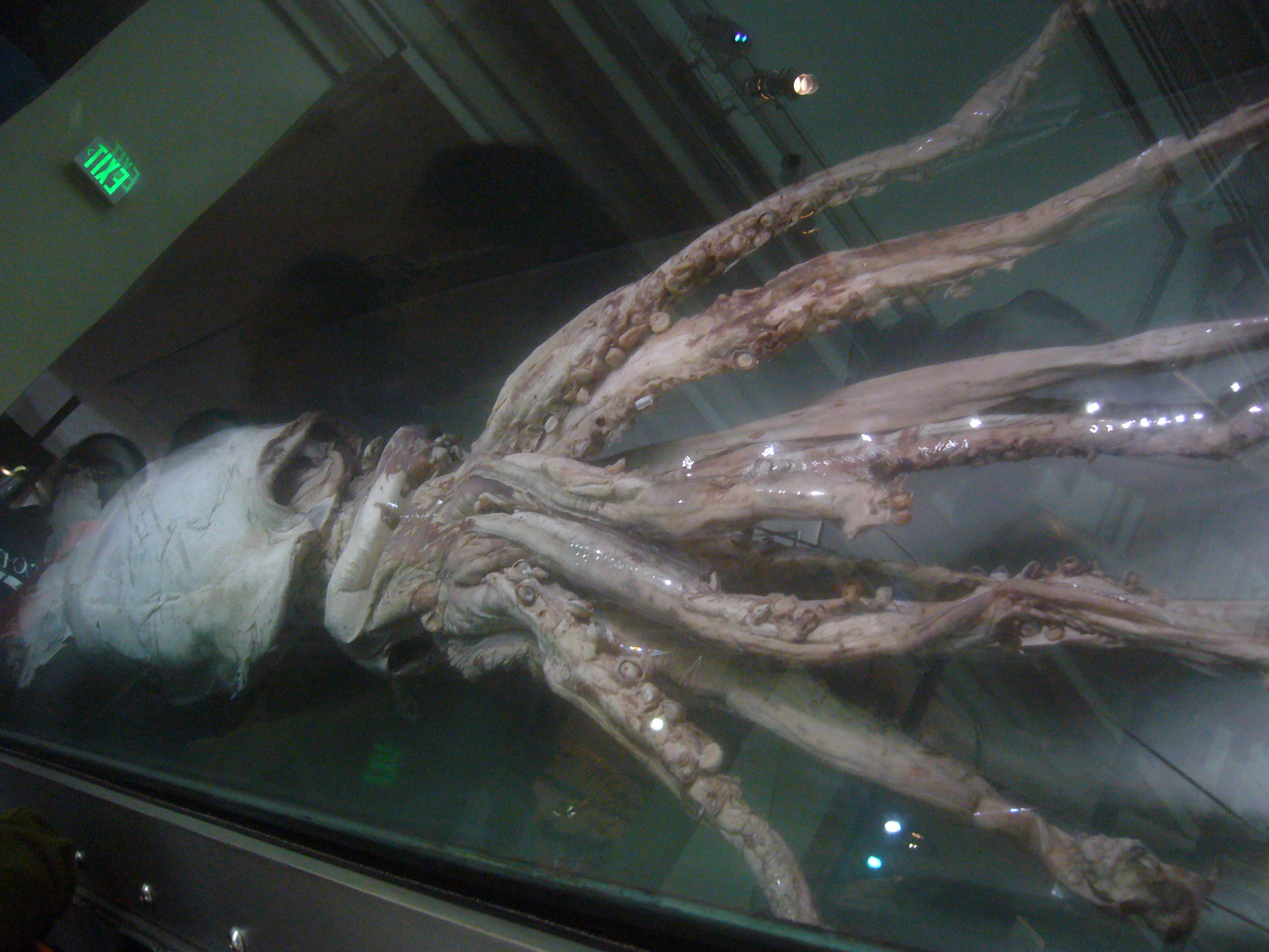 Colossal Squid Natural History Museum