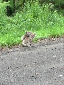 Double Koala!