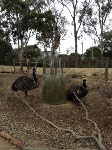 Melbourne Zoo Emus