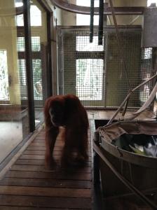 Melbourne Zoo Orangutan