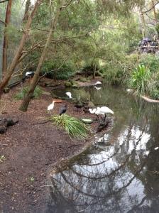 Melbourne Zoo Spoonbills