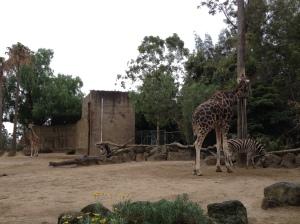 Melbourne Zoo Zebra Giraffe