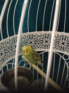 Marty The Budgie