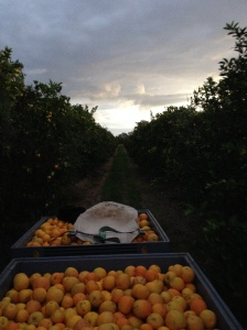 Full Bins Of Oranges