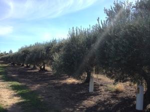 Mildura Olive Trees