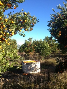 A Bin Of Mandarins In The Orchard