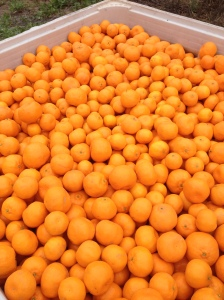 A Full Bin of Mandarins