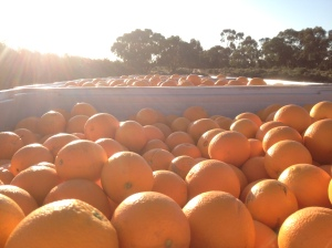 Full Bins Of Oranges