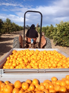 Mandarins Behind The Tractor