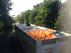 Orange Picking Trailer