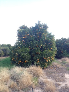A Loaded Orange Tree