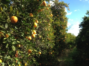A Row In The Orange Orchard