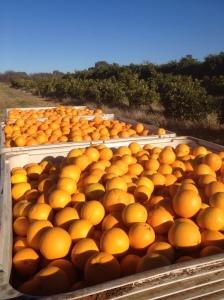 Three Full Bins Of Oranges
