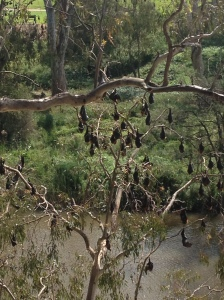 Hanging Flying Foxes