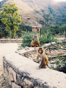 Monkeys Of Jaipur