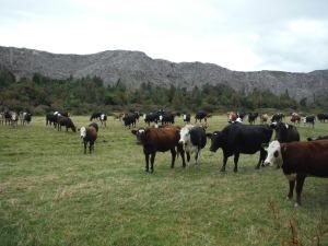 Black Water Rafting Cows