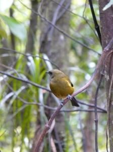 Bellbird on Kapiti Island