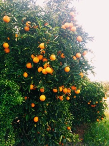 Curlwaa Oranges