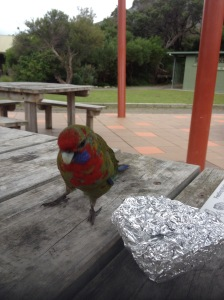 Lunch Stealing Rosella