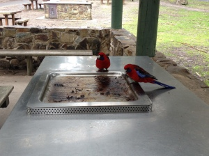 Crimson rosellas eating from a barbecue.