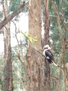A kookaburra in the Dandenongs.