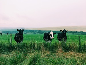 The Cows Come To Say Hello