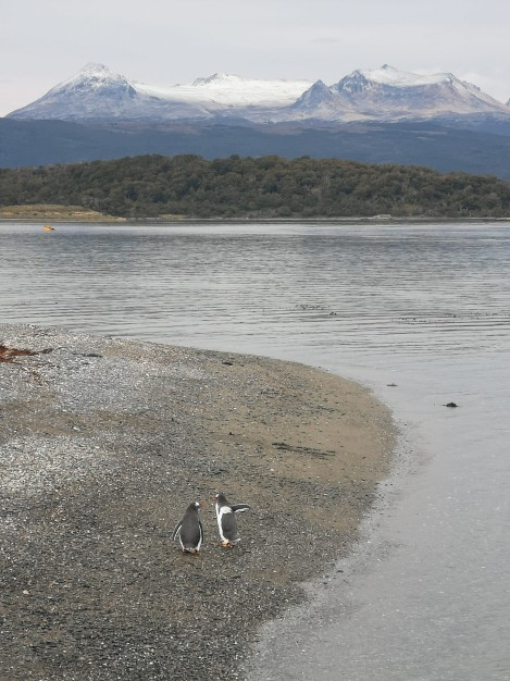 Penguins in the Beagle Channel
