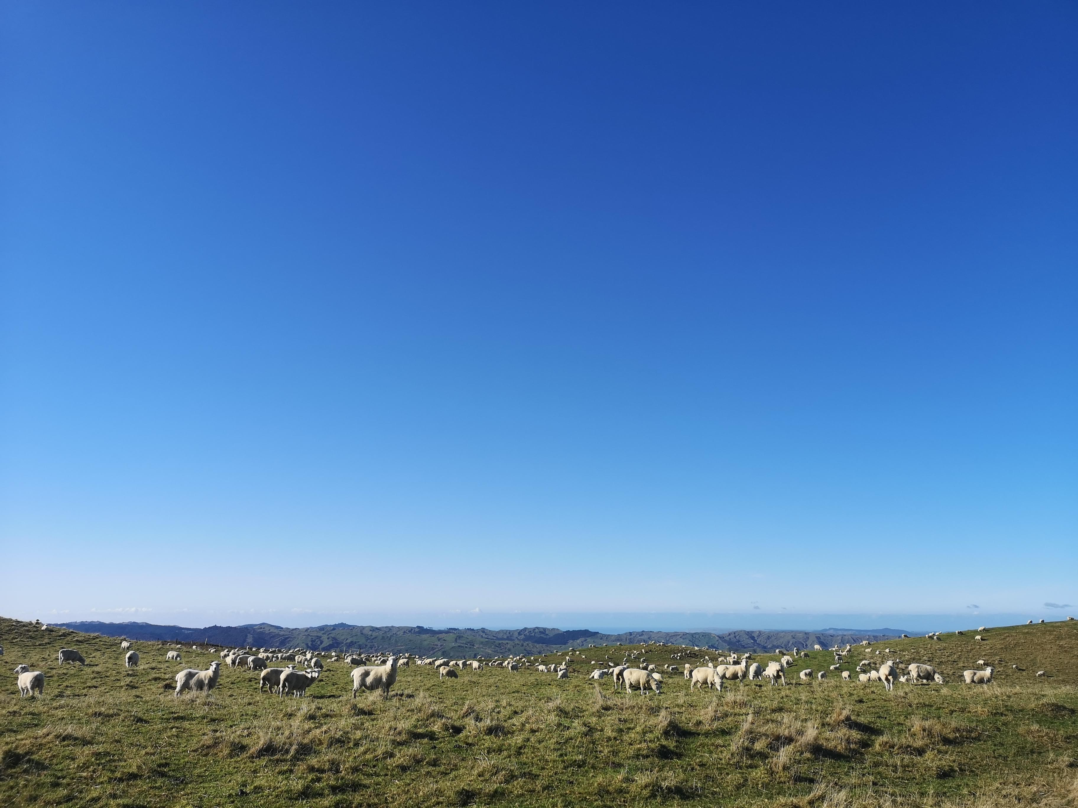 A Field Full of Sheep