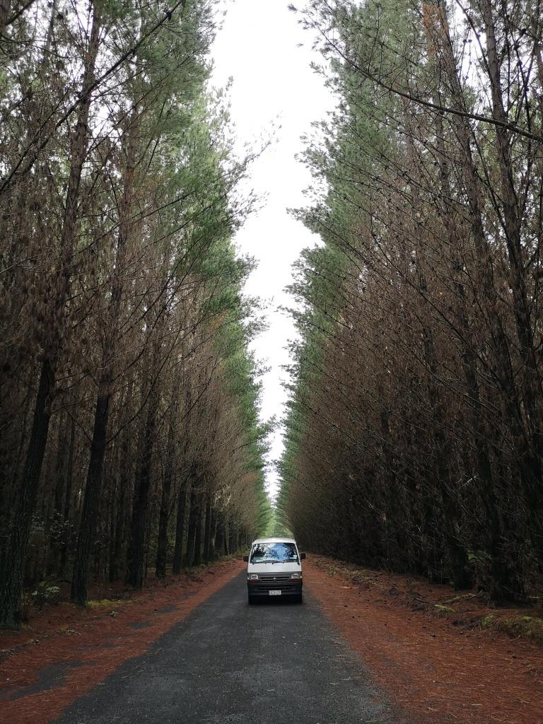 Driving Through Pine Plantations