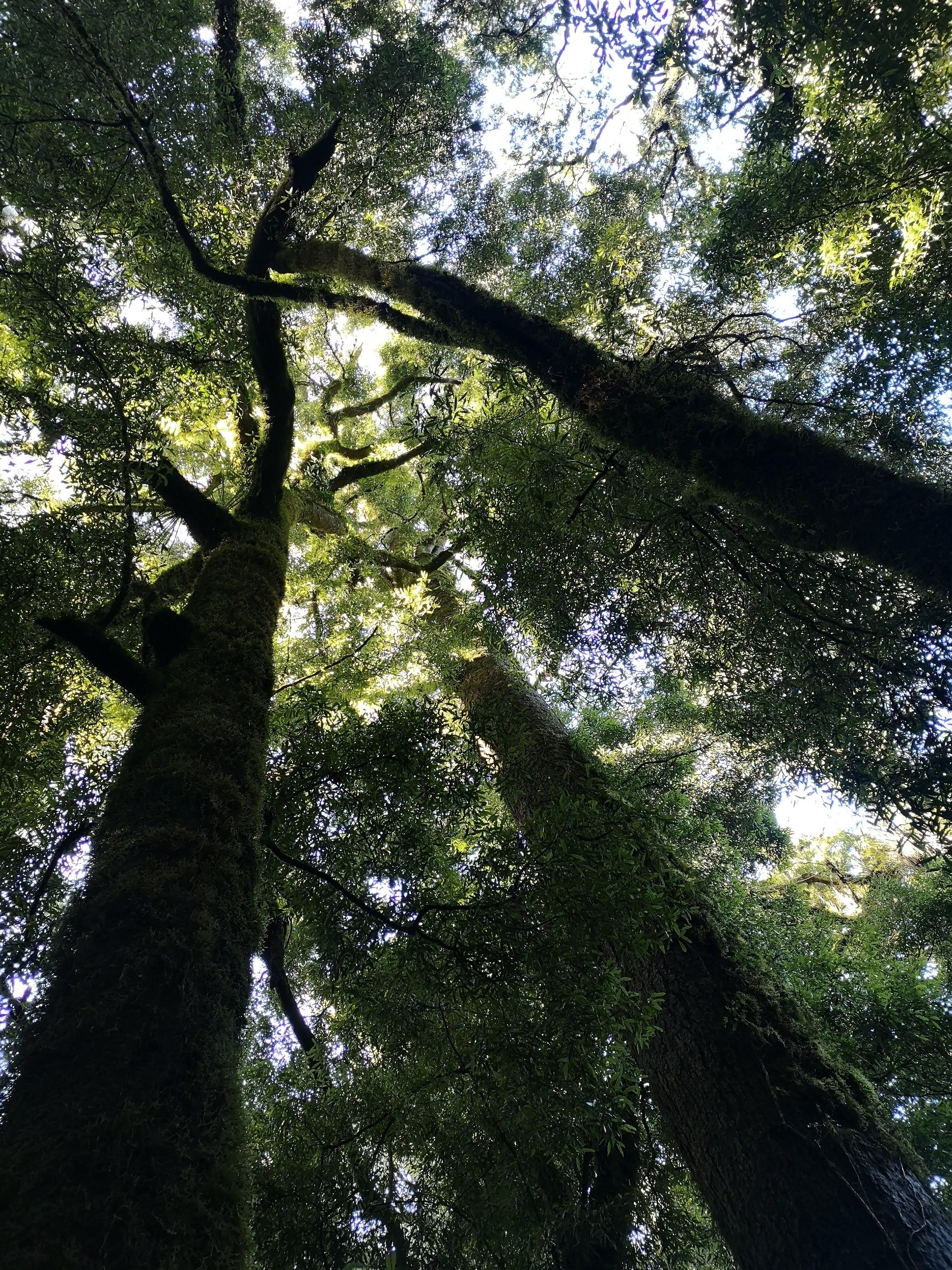 Whirinaki Track Tree Trunks
